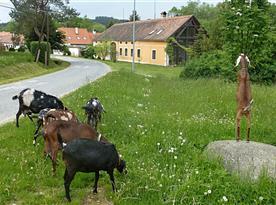 Mnoho radosti hostům přinášejí naše kozy