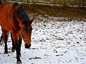 Chovy koňů ve Studené