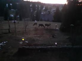 Večer sem chodí stádo lani:-)