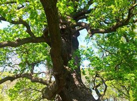 Jeden z přibližně 500 let starých památných dubů v našem parku.