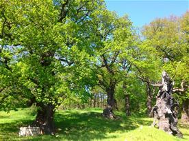 Výhled do našeho parku s památnými duby, z nichž dva jsou staré zhruba 500 let.