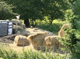 Kozy a ovce na pastvině za plotem