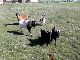 Kozy a ovce na louce u jurty